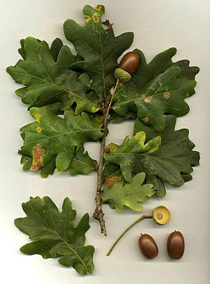 Quercus robur - Leaves and acorns (note the long acorn stalks)