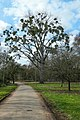 Quercus robur Mannheim Promenadenweg.jpg