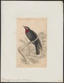 Querula purpurata - 1838 - Print - Iconographia Zoologica - Special Collections University of Amsterdam - UBA01 IZ16600115.tif