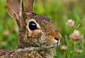 Rabbits (17892289592).jpg