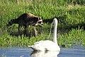 Raccoon and Trumpeter Swan on Seedskadee National Wildlife Refuge (27032633021).jpg