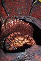 Rafflesia tuan-mudae (19755853343).jpg