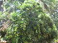 Rambutan - റംബൂട്ടാൻ 03.JPG