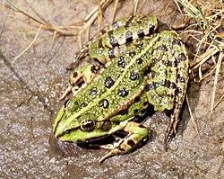 Pelophylax ridibundus (femelle)