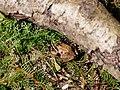 Rana arvalis in the Teufelsbruch swamp 03.jpg