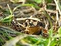 Rana japonica Japanese brown frog DSCN0149.JPG