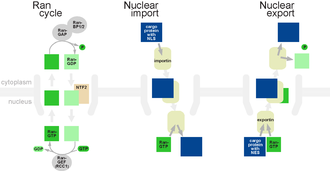 Nuclear pore - The Ran-GTP cycle, nuclear import and nuclear export