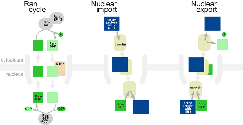 File:Rancycle nuclearimport nuclearexport.png