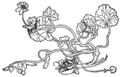 Ranunculus.png