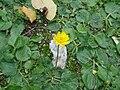 Ranunculus bullatus 1.JPG