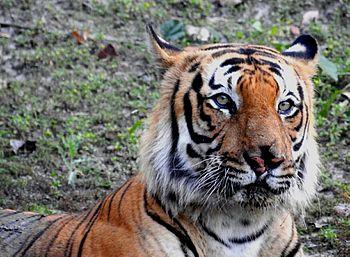 Rare sitting of tiger.jpg