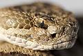 Rattlesnake head 2 wray (8271887601).jpg