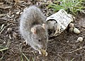 Rattus norvegicus - Brown rat 01.jpg