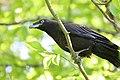 Raven Fledgling on Branch.jpg