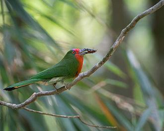 Red-bearded bee-eater - Female in Kaeng Krachan National Park, Thailand