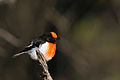 Red-capped Robin (Petroica goodenovii) (22328827639).jpg