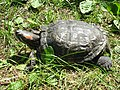 Red-eared slider, Nowe Zoo Poznań 1.JPG