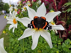 Red Admiral on a dahlia flower.jpg