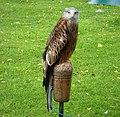 Red Kite. Milvus milvus (48451835412).jpg