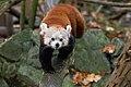 Red Panda (24676720518).jpg