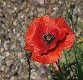 Red Poppy Papaver Flower Top 2008px.jpg