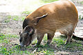 Red River Hog (18199826973).jpg