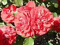 Red Rose flowers 06.jpg