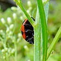 Red and black ladybug on the grass.jpg