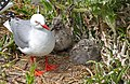 Red billed gull with chicks. (from a hide) (28638474974).jpg