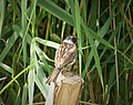 Reed Bunting. Emberiza schoeniclus (45617531244).jpg