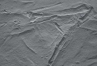 Podokesaurus - Replica of coelurosaur bone casts from Middletown, Connecticut