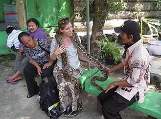 Petting zoo - A zoo visitor interacts with a Python reticulatus at the Reptile Park in Taman Mini Indonesia Indah, Jakarta, Indonesia.