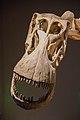 Restored Alamosaurus skull.jpg