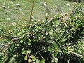 Rhamnus lycioides kz3.jpg
