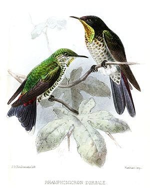 Endemic birds of Colombia - Image: Rhamphomicron Dorsale Keulemans