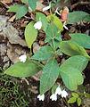 Rhinacanthus nasutus.jpg