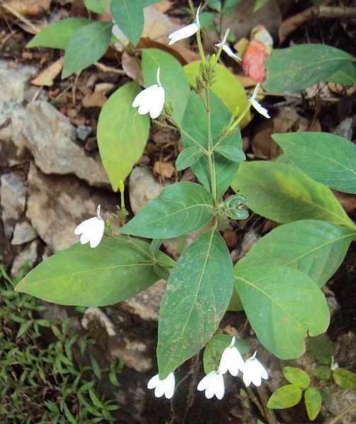 പ്രമാണം:Rhinacanthus nasutus.jpg
