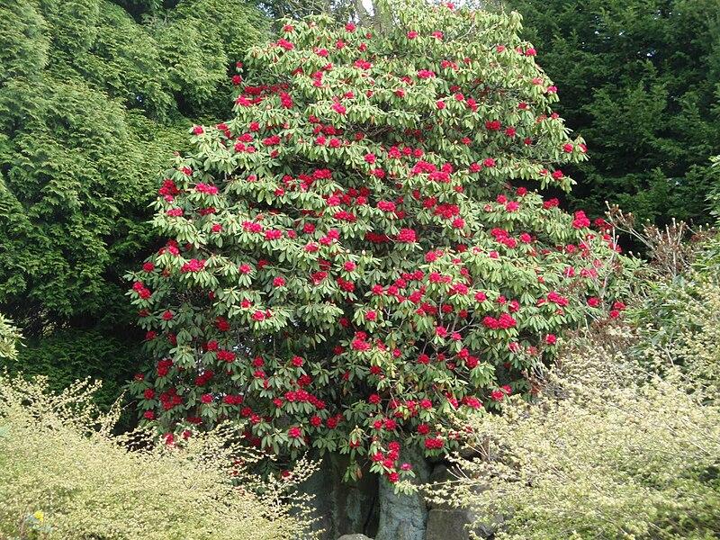 Arquivo: Rhododendron arboreum 2009.jpg