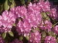 Rhododendron catawbiense PM14.JPG
