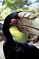 Rhyticeros undulatus -Bali Zoo, Indonesia -female-8a (2).jpg
