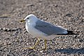 Ring-billed Gull (Larus delawarensis) - Port au Choix, Newfoundland 2019-08-19 (01).jpg
