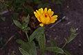Ringblomma (Calendula officinalis) IMG 5605.jpg