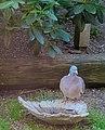 Ringduva Wood Pigeon (13896236967).jpg