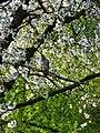 Ringeltaube im Kirschbaum.JPG