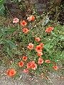 Roadside poppies on the verge of School Lane, Borden (geograph 5050864).jpg