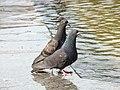 Rock Pigeon-Mindaugas Urbonas-4.jpg