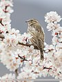 Rock Sparrow (Petronia petronia) (51092785587).jpg