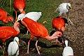 Rode ibis (Eudocimus ruber).jpg