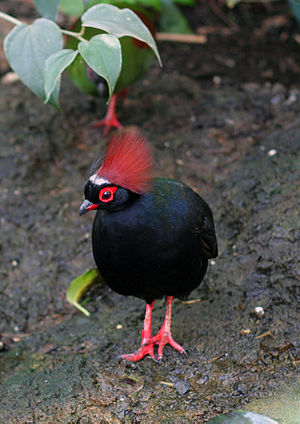 Crested partridge - Image: Rollulus rouloul Toronto Zoo, Canada male 8a