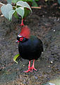 Rollulus rouloul -Toronto Zoo, Canada -male-8a.jpg